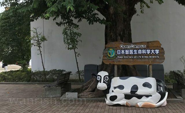 日本獣医生命科学大学内の牛